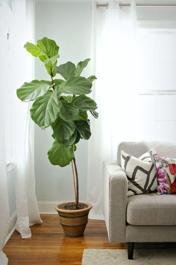 fiddle-leaf-fig