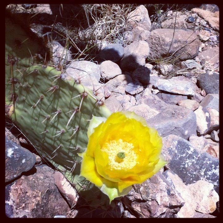 Prickly Pear Cactus - Tucson, Arizona